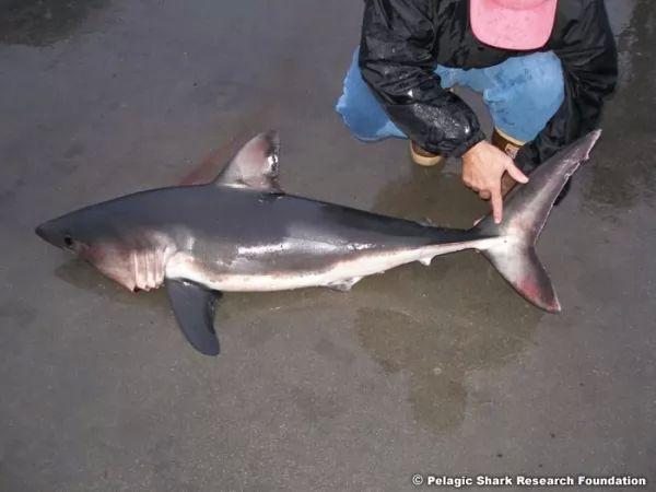 صور - معلومات عن سمك القرش الابيض العظيم