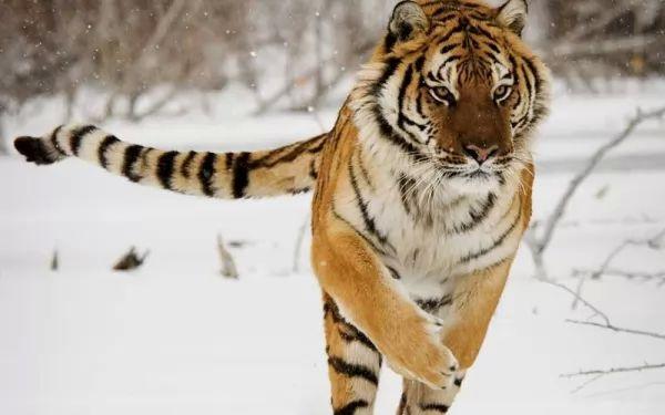 صور - اكبر نمر في العالم النمر السيبيري