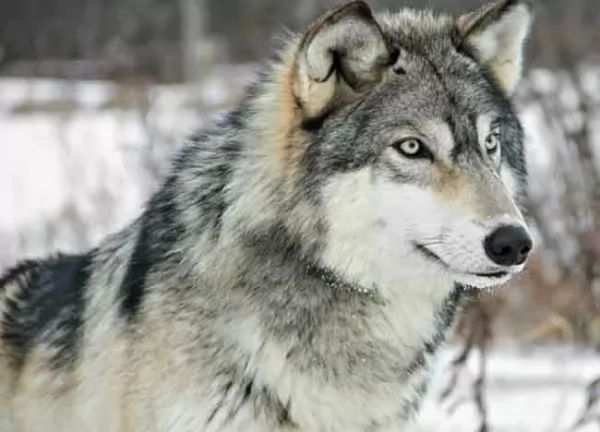 صفات الذئب