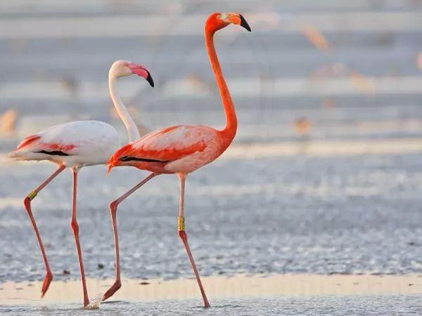 زوج من طيور الفلامنجو الضخمة