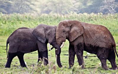 10 معلومات مثيرة للإهتمام عن الأفيال بالصور