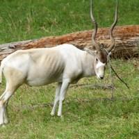 معلومات مثيرة عن حيوان المها بالصور