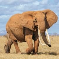 معلومات عن الفيل الأفريقي أكبر الحيوانات البرية بالصور