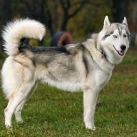 معلومات رائعة عن كلب مالموت ألاسكا بالصور