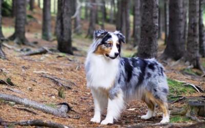 معلومات رائعة عن كلب الراعي الأسترالي بالصور