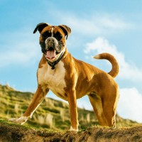 معلومات رائعة عن كلب البوكسر بالصور
