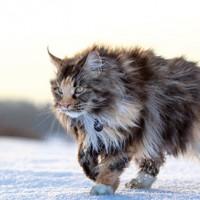 معلومات رائعة عن القط ماين كون بالصور