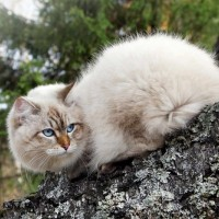 معلومات رائعة عن القط السيبيري بالصور