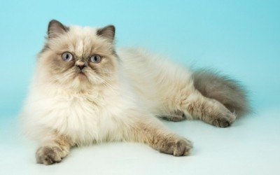 معلومات رائعة عن قط الهيمالايا بالصور