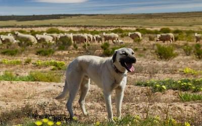 معلومات رائعة عن كلب الراعي الأناضولي بالصور