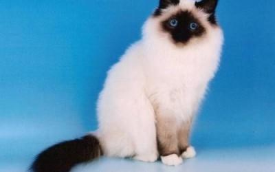 معلومات رائعة عن قط بيرمان بالصور