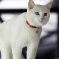 15 من سلالات القطط البيضاء الرائعة بالصور