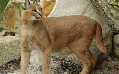 5 من الحيوانات لديها أكبر أذن على الأرض بالصور