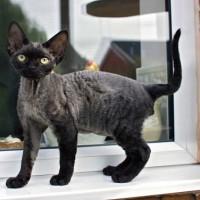 10 من أنواع القطط السوداء الرائعة بالصور
