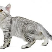 معلومات رائعة عن سلالة قط البورميلا بالصور