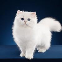 معلومات رائعة عن القط الشيرازي بالصور