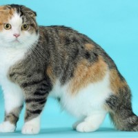 معلومات مدهشة عن قط سكوتش بالصور