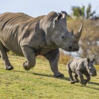 هل يجب إدخال وحيد القرن إلى أستراليا ؟
