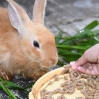 كيفية تغذية الأرانب والعناية بصحتها