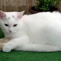7 معلومات رائعة عن القطط البيضاء بالصور