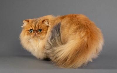 معلومات عن قط شانشيلا الفارسية بالصور