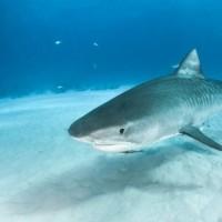 هل أسماك القرش تضع بيض أم تلد ؟