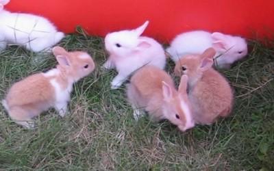 كيفية رعاية الأرانب الصغيرة في أول أسبوعين من العمر
