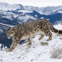 معلومات مثيرة عن الفهد الثلجي بالصور