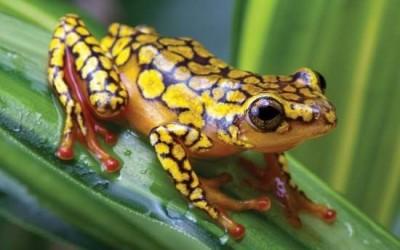هل جميع أنواع البرمائيات معرضة لخطر الإنقراض ؟
