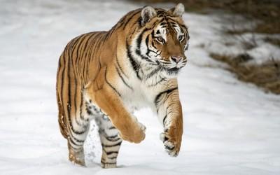 8 أشياء قد لا تعرفها عن النمر البنغالي