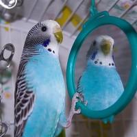 كيفية العناية بطيور ببغاء البادجي