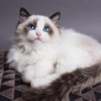 10 من أشهر أنواع القطط في العالم بالصور