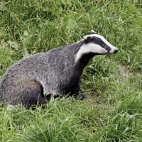 معلومات رائعة عن حيوان الغرير الأوراسي بالصور