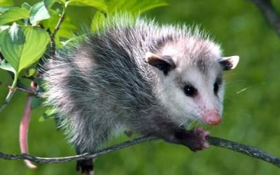معلومات مدهشة عن حيوان الأبوسوم بالصور