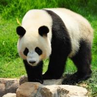 أين يعيش دب الباندا العملاقة؟