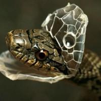 لماذا يحدث تغيير جلد الثعابين؟