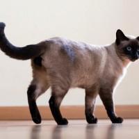 رعاية وتاريخ سلالة القط السيامي