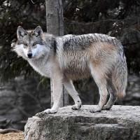 الذئب الرمادي يفقد الحماية بموجب قانون الأنواع المهددة بالإنقراض